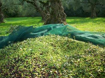 Сбор маслин в Греции