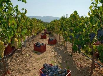 Виноградники, Греция
