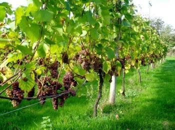 Виноградники Греции