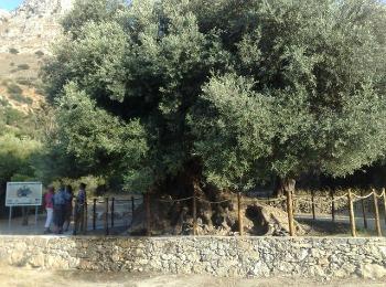Самое старое оливковое дерево в мире