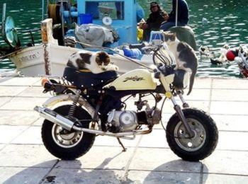 Даже кошки любят прокатиться на двухколёсном друге