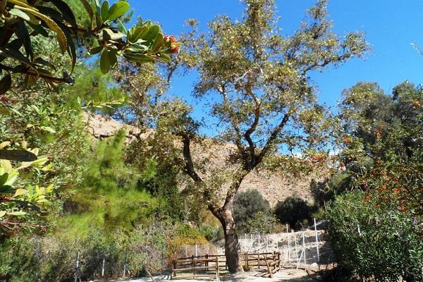 Платан Гортины - чудодейственное дерево