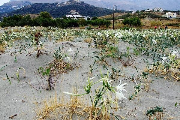 Морские нарциссы на Крите появляются в августе