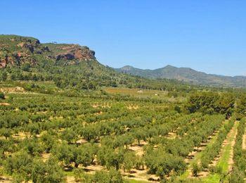 Плоды оливок на масличных плантациях